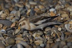 Searching for seeds (Chris Bainbridge1) Tags: coast plectrophenaxnivalis |norfolk snowbunrting
