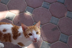 IMG_4273 East Coast tour - Fujairah - Sandy Beach Resort - hungry restaurant cats (drayy) Tags: cats cat restaurant uae sharjah eastcoast fujairah thebiggestgroupwithonlycats