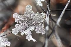 IMG_8554 (nitinpatel2) Tags: snowflakes patel nitin