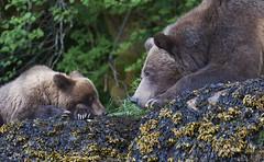 (40) (Archie Richardson) Tags: cub grizzlybear khutzemateen