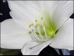 Amaryllis (Gartenzauber) Tags: doublefantasy floralfantasy macroelsalvador excellentsflowers natureselegantshots mimamorflowers saariysqualitypictures greatshotss contactgroups mixofflowers esenciadelanaturaleza cocoonofdreams