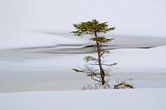 Tree and ice (Xtraphoto) Tags: schnee winter white snow cold tree art ice landscape frozen kunst kalt eis effect landschaft photoart baum fichte effekt tanne weis gefroren fotokunst thetreetales