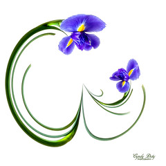 Motherly Love (cd32919) Tags: iris abstract flower nature fleur square petals flora purple onwhite