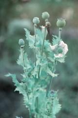 amapolas (vlco iviero) Tags: chile flowers plants patagonia flores film analog 35mm puerto lomo lomography weed herbs turquoise grain e drugs poppy sur zenit montt 122 opio amapola zenit122