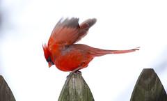 male Cardinal fly away (wvsawwhet) Tags: red bird birds cardinal birding wv westvirginia birdwatching fairmont redbird marioncounty northerncardinal westvirginiabirds birdsofwestvirginia