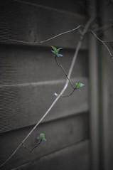 first signs of spring (Bilderwense) Tags: plant germany deutschland 50mm spring europa europe dof blossom bokeh natur depthoffield shallowdepthoffield shallowdof 50mmf18 nordheide nikkor50mm tiefenschrfe tiefenunschrfe naturetakesover d5000