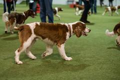 welsh-9 (Action Petz!) Tags: park uk dog dogs wales puppies south cardiff canine bark spaniel springer dogpark dogphotography welshspringer doggydaycare dogfun welshspaniel actionpetz
