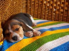 Max (Emilio A. Cerda Fierro) Tags: sleeping dog beagle animal puppy nap time sleep adorable perro cachorro siesta sillon mascota pequeo dormido tierno