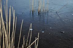 DSC_8849 [ps] - Organ (Anyhoo) Tags: uk blue winter england white cold reflection texture ice broken water reeds dead grey frozen trapped sticks pond frost stuck bare freezing straw surrey bubble rushes stalks fragment protruding frensham stickingout frenshamlittlepond anyhoo photobyanyhoo