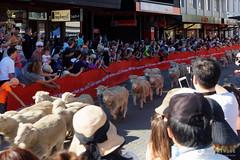 20160206-06-Running of the Wools crowd (Roger T Wong) Tags: city travel newzealand summer people sheep crowd merino nz southisland otago queenstown 2016 sony2470 rogertwong sel2470z sonyfe2470mmf4zaosscarlzeissvariotessart sonya7ii sonyilce7m2 sonyalpha7ii runningofthewools