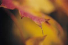Fall Leaves (dalenewsted) Tags: autumn orange fallleaves macro fall leaves orangeleaf