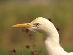 "Portrait A ""cattle egret"" (rick_toor) Tags: portrait india white nature colors beautiful asia flickr indian sony hobby punjab egret chandigarh facebook naturephotography cattleegret wildlifephotography sonydschx400v ricktoor"