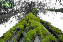 Moss on tree (jgonzo79) Tags: california green forest landscape nationalpark yosemite
