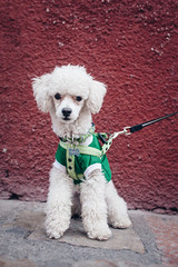 Pulgarcito (the llama dog) (stephaneberla) Tags: red dog chien color green animals wall mexico rouge mammal couleurs vert poodle oaxaca lama animaux mur caniche pulgarcito mamifres