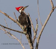 Peliated Woodpecker (J Baker Photography) Tags: woodpecker florida wetlands noisy woodywoodpecker peliated