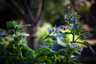 Borage in the herb garden