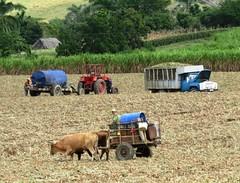 Sugar Cane Harvest (Hear and Their) Tags: cane cuba harvest sugar oxen buey guardalavaca banes