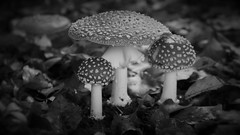 like mushrooms sprouting from the soil (yakkay43) Tags: natur pflanzen wiesen pilz fliegenpilz dithmarscher