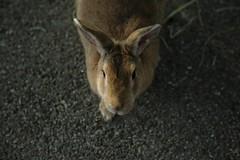 rabbit #2 (Y.Hassy) Tags: rabbit canon hiroshima 5d usagi   aimal ookunojima