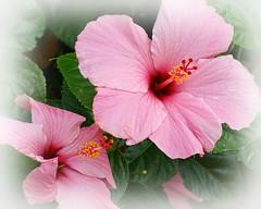 Pink Hybiscus (tedavisphotography) Tags: pink flower tropical paintshoppro hybiscus moodygardens galvestontx sonya65