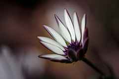 DSC_6781-Edit (zzra) Tags: flowers white flower macro purple sigma ethereal 105mm