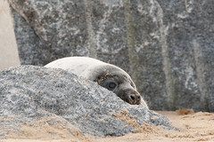 Grey Seal Pup - Grey and black fur - hiding behind rocks - Winterton beach (Clive_Bushnell) Tags: uk winter sea slr beach nature digital canon eos grey coast seaside wildlife north norfolk gray atlantic telephoto seal british clive winterton bushnell wintertononsea halichoerus grypus canoneos1diii clivebushnell ef300mm28is coastgreysealmamalsnaturesealsukwinterwintertononsea britishmarinewildlife
