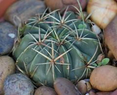 Ferocactus macrodiscus (alloe.) Tags: ferocactus