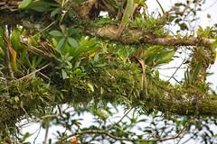 Epiphytes, Rainforest, Arenal, Costa Rica CQ4A9338a (Hart Walter) Tags: rainforest birdwatching fortuna socialflycatcher iguanas epiphytes euphonia tropicalforest arenalvolcano costaricanature swalowtailedkite paraisoresort misticohangingbridgespark