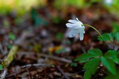 Buschwindrschen - 30-2016_Web (berni.radke) Tags: flower anemone bloom wald ranunculaceae bloosom buschwindrschen anemonenemorosa windflower blhen windrschen forestflowers hahnenfusgewchse