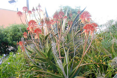 Aloes (RobW_) Tags: wednesday garden greece april zakynthos tsilivi 2016 aloes 13apr2016