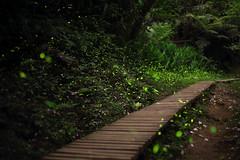 Dancing party in the night. (Go Go Janet) Tags: green twinkle lightning firefly lightningbug   amazingnature  greenillumination