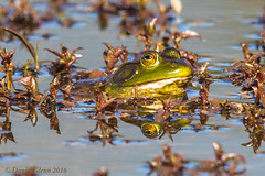 American bullfrog (Lithobates catesbeianus) (danielusescanon) Tags: wild reflection water virginia amphibian aquatic animalplanet americanbullfrog huntleymeadowspark