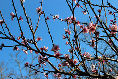 ilk bahar. (Ramona Marotta) Tags: pink flowers sky flower primavera photo spring nice peace peach rosa happiness dreaming cielo fiori pesca smells ilk bahar bar eftali