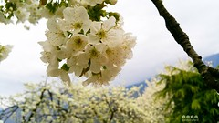 Sdtirol - South Tyrol (Italy) - Alto Adige - Italia >  Baumblte in Forst / Algund (warata) Tags: italien italy alps italia pflanze alpen blte sdtirol altoadige southtirol adige baumblte dolomiten 2016 forst etsch algund lagundo