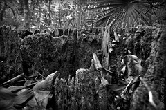 The Citadel of the Fairies lay in Ruin... (a world seen through open eyes) Tags: blackandwhite plants mountain macro tree broken nature forest landscapes moss rainforest ruins natural hiking citadel decay perspective scenic environmental kingdom australia brisbane treetrunk fallen bushwalking queensland fairies magical bnw alternative microlandscape mountnebo undergrowth enchanting ecosystems macrolandscape mountglorious littleworlds southeastqueensland fairykingdom awstoe