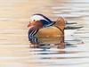 Anatra mandarina (giansacca) Tags: birds animals aves uccelli mandarin mandarinduck animaux mandarina animali vogel oiseaux racconigi lipu mandarinente canardmandarin patomandarín anatramandarina centrocicogne associazionecentrocicogneeanatidi