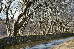 Driveway to Duncan House (R_W_M) Tags: road trees winter skye perspective skeletal nikond3100