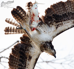 Late day Osprey 4_25 (krisinct- Thanks for 12 Million views!) Tags: canon mark ii 7d 500 f4