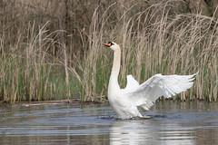 Mute Swan, Knobbelzwaan, Cygnus olor. (jwsteffelaar) Tags: muteswan cygnusolor knobbelzwaan