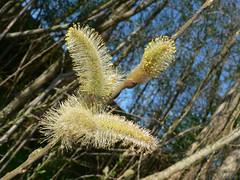 Trees in Reiderland NL (achatphoenix) Tags: trees sky netherlands spring treetops groningen ems bume arbre baum niederlande dollart dollard oldambt reiderland