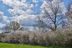 Blossom and sky (dlanor smada) Tags: sky clouds spring blossom chilterns aylesbury bucks riversidewalk