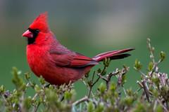 male cardinal (JGKphotos) Tags: bird birds wisconsin cardinal johnkunze canoneos70d