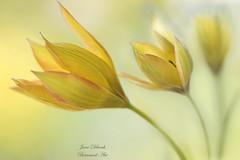 Tulipa (Jane Dibnah Botanical Art) Tags: yellow closeup spring flora tulips depthoffield tulipa selectivefocus macrophotography tulipaorphanideaplava