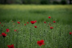 nature is a language... (Cristianella) Tags: poppies prato papaveri thesmiths