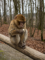 Apes of god (spline_splinson) Tags: animal germany de deutschland ape salem bodensee affe macaques badenwrttemberg barbarymacaques barbaryape affenberg apehill boyandape