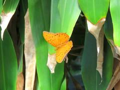 Vindula arsinoe 3 (barryaceae) Tags: house butterfly harbour australia nsw coffs the ausbutterfly
