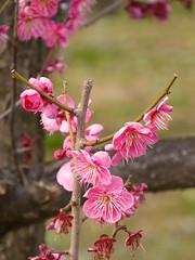Delightful pink (seikinsou) Tags: park pink winter red white flower tree castle japan garden spring grove blossom plum osaka scent osakajo plumgrove