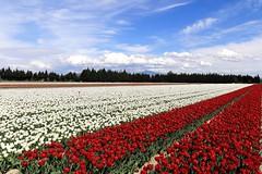 Spring time IMG_9632 (Ludo_M) Tags: sky plant flower field clouds canon landscape eos tulip nuage vaucluse 6d ventoux montventoux canoneos6d ef1635mmf4lisusm