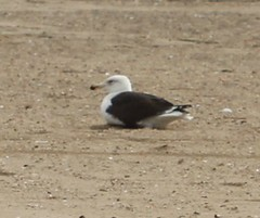 Great Black-backed Gull (lycaenidae_nm) Tags: brooklyn