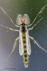 Mücke (gerhard.wolff2016) Tags: fühler insekt mücke behaart schleswigholstein deutschland de wildlife insect macro canonefs60mmf28macrousm kosel